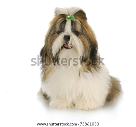 cute shih tzu puppy with green bow in hair with reflection on white background - stock photo