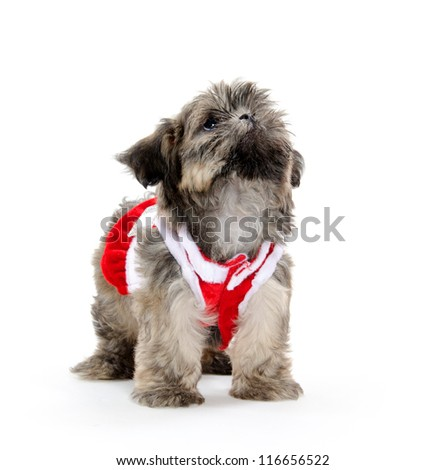 Cute shih tzu puppy with red sweater on white background