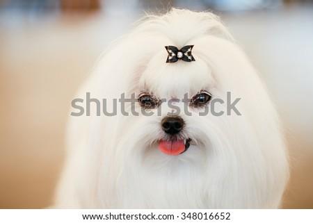 Cute Shih Tzu White Toy Dog Indoors - stock photo