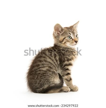 Cute short hair baby tabby kitten on white background - stock photo