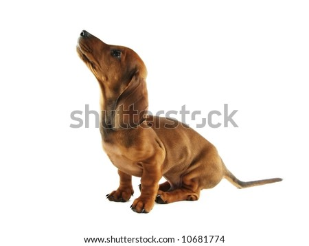 Cute short hair dachshund dog sitting on white background and looking up