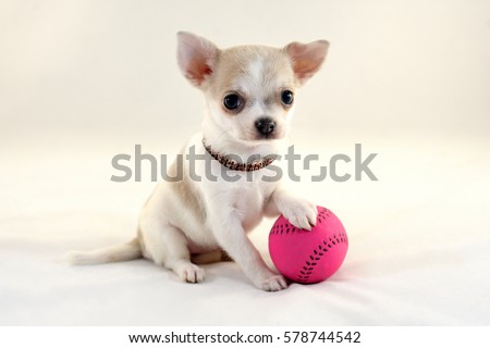 Chihuahua Stock Images, Royalty-Free Images & Vectors | Shutterstock