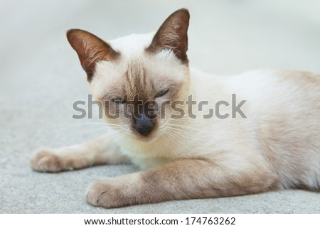 Cute Siamese cat - stock photo
