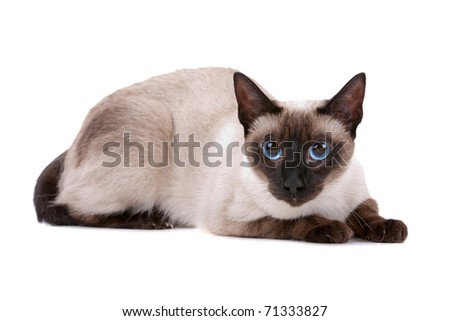 Cute Siamese cat looking at camera on a white background - stock photo