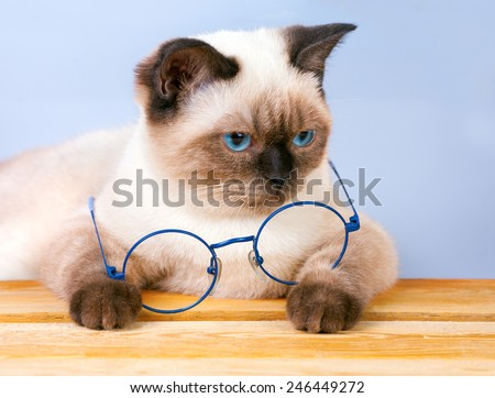 Cute siamese cat with glasses sitting at the table  - stock photo