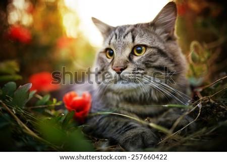 Cute siberian cat in puppy field - stock photo