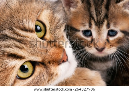 Cute siberian cat with little kitten with focus on the cat - stock photo