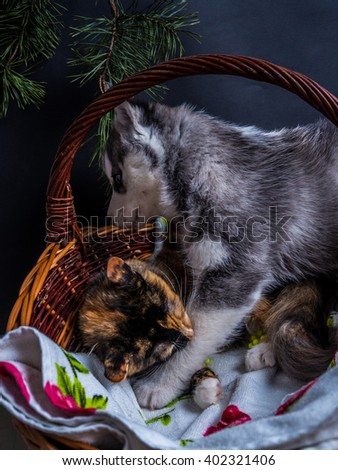 Cute siberian husky puppy  cuddling  cute kitten in the basket