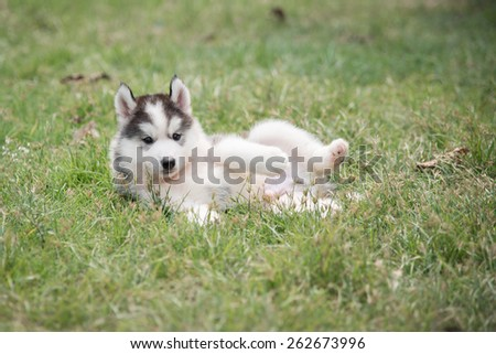 Cute siberian husky puppy laying on green grass