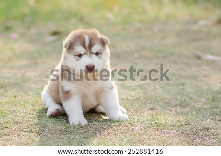 Cute siberian husky puppy on green grass in sunset with copy space on right