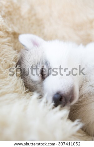 cute siberian husky puppy on white wicker chair