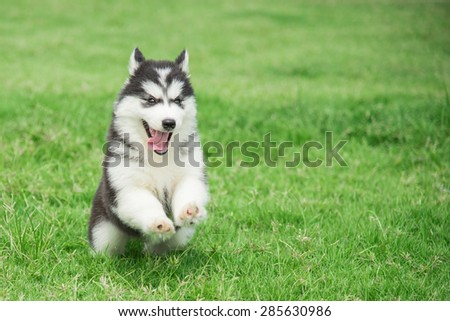 Cute siberian husky puppy running on grass - stock photo