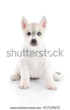 Cute siberian husky puppy sitting and looking on white background isolated