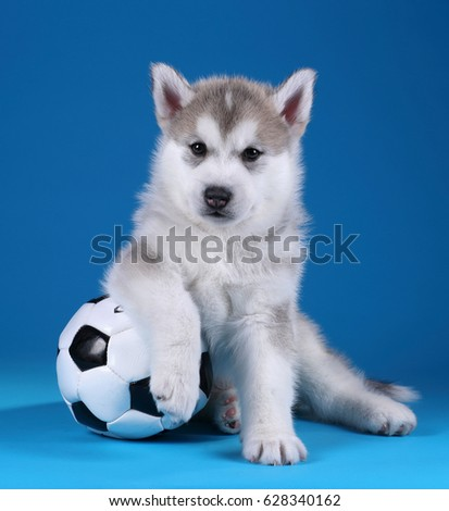 Cute Siberian Husky puppy with a ball on a blue background