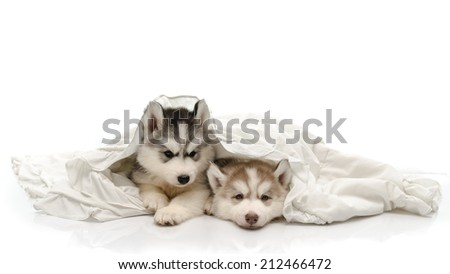 Cute siberian husky puppy with a white blanket - stock photo