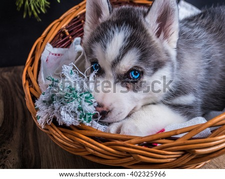 Cute Siberian husky puppy with blue eyes in the basket - stock photo