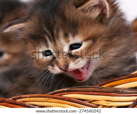 Cute siberian kitten crying in the wicker basket close-up - stock photo