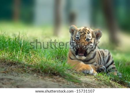 Tiger Cub Stock Images, Royalty-Free Images & Vectors ... Cute Siberian Tiger Cubs
