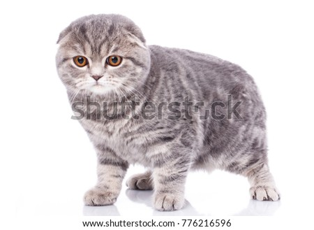 Cute Silver bicolor scottish kitten on white background