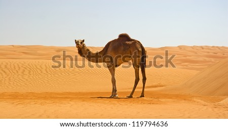 Cute single-humped camel in beautiful omani desert in the middle of the day - stock photo