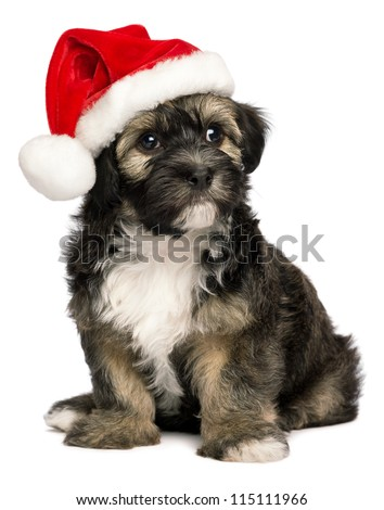 Cute sitting Bichon Havanese puppy dog in a Christmas - Santa hat. Isolated on a white background - stock photo