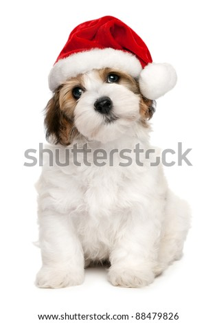 Cute sitting Bichon Havanese puppy dog in Christmas - Santa hat. Isolated on a white background - stock photo