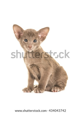 Cute sitting grey blue sitting oriental short hair baby cat kitten with blue eyes facing the camera isolated on a white background