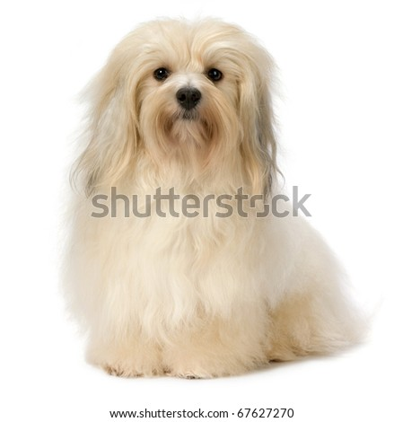 Cute sitting Havanese dog. Isolated on a white background