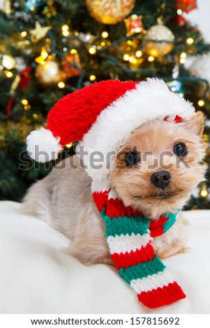 Cute sitting Yorkshire Terrier puppy dog in a Christmas - Santa hat,christmas tree - stock photo