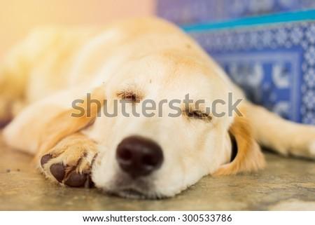 Cute Sleeping  retriever puppy. - stock photo