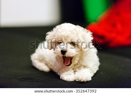 cute small bichon frise puppy laying on sofa, notice shallow depth of field - stock photo