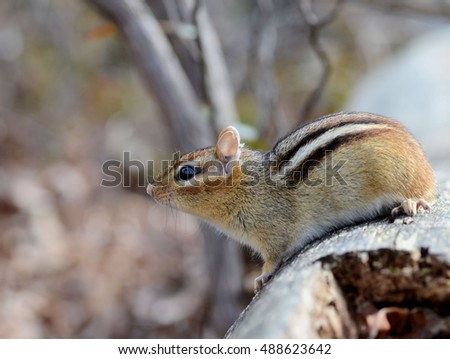 Cute small chipmunk looking out over her territory