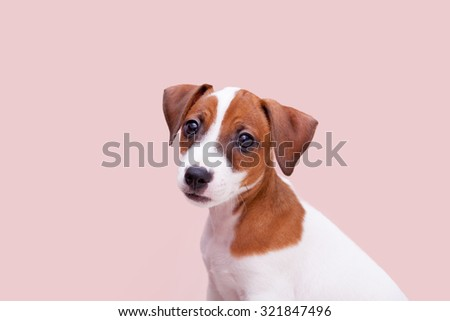 cute small dog Jack Russell terrier on pink background  - stock photo