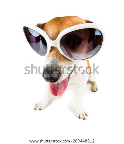 Cute small Jack russell terrier wearing white sunglasses distorted by wide angle closeup.  - stock photo