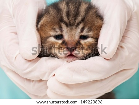 Cute small kitten in hands of the veterinarian close-up - stock photo