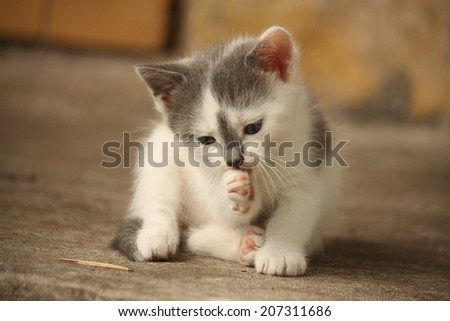 Cute small light gray kitten washing his paw - stock photo
