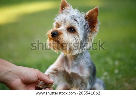 Cute small yorkshire terrier is sitting on a green lawn outdoor shaking hands with a man - stock photo