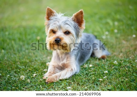 Cute small yorkshire terrier on a green lawn outdoor, no people