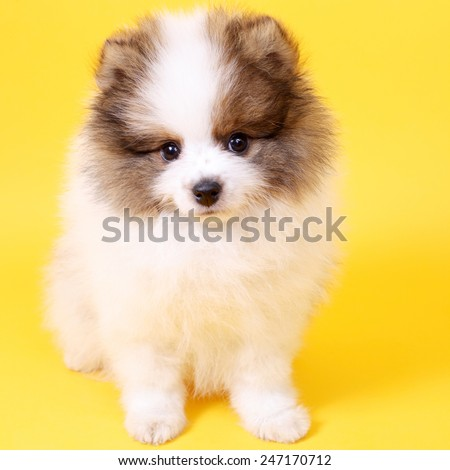 cute smiling little spitz puppy closeup - stock photo