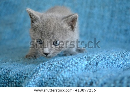 cute solid grey blue tabby kitten on edge of blue blanket - stock photo