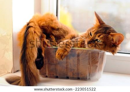Cute somali cat lying inside plastic box - stock photo