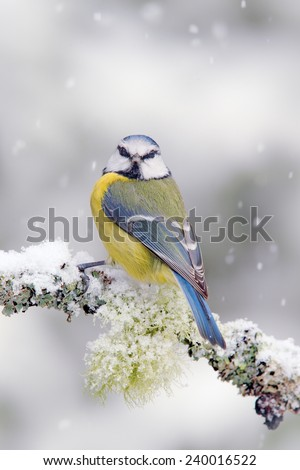 Cute songbird Blue Tit in winter scene, snow flake and nice lichen branch - stock photo