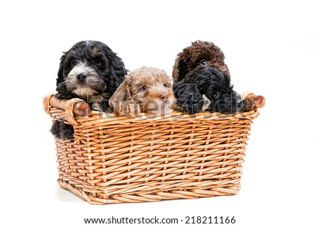Cute Spaniel crossed with Poodle Puppies - stock photo