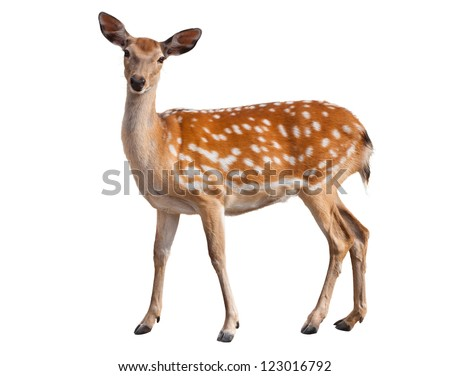 Cute spotted fallow deer isolated on white - stock photo