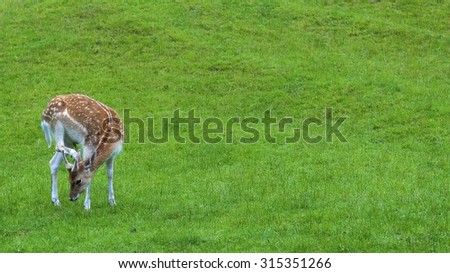 cute spotted fallow full-body dear with green grass background. shallow depth of field (DOF) with selected focusing - stock photo