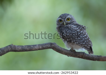 Cute spotted owlet on small branch, thailand - stock photo
