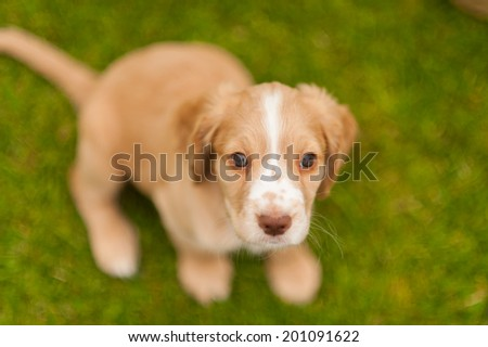 Cute Springer Spaniel pup playing in the garden - stock photo