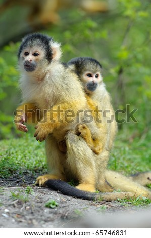 cute squirrel monkey with baby (Saimiri) subfamily: saimiriinae - stock photo