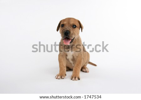 cute St. Bernard/Great Dane puppy - stock photo