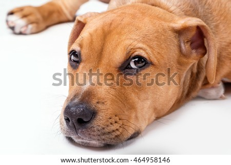 Cute staffordshire terrier puppy in studio